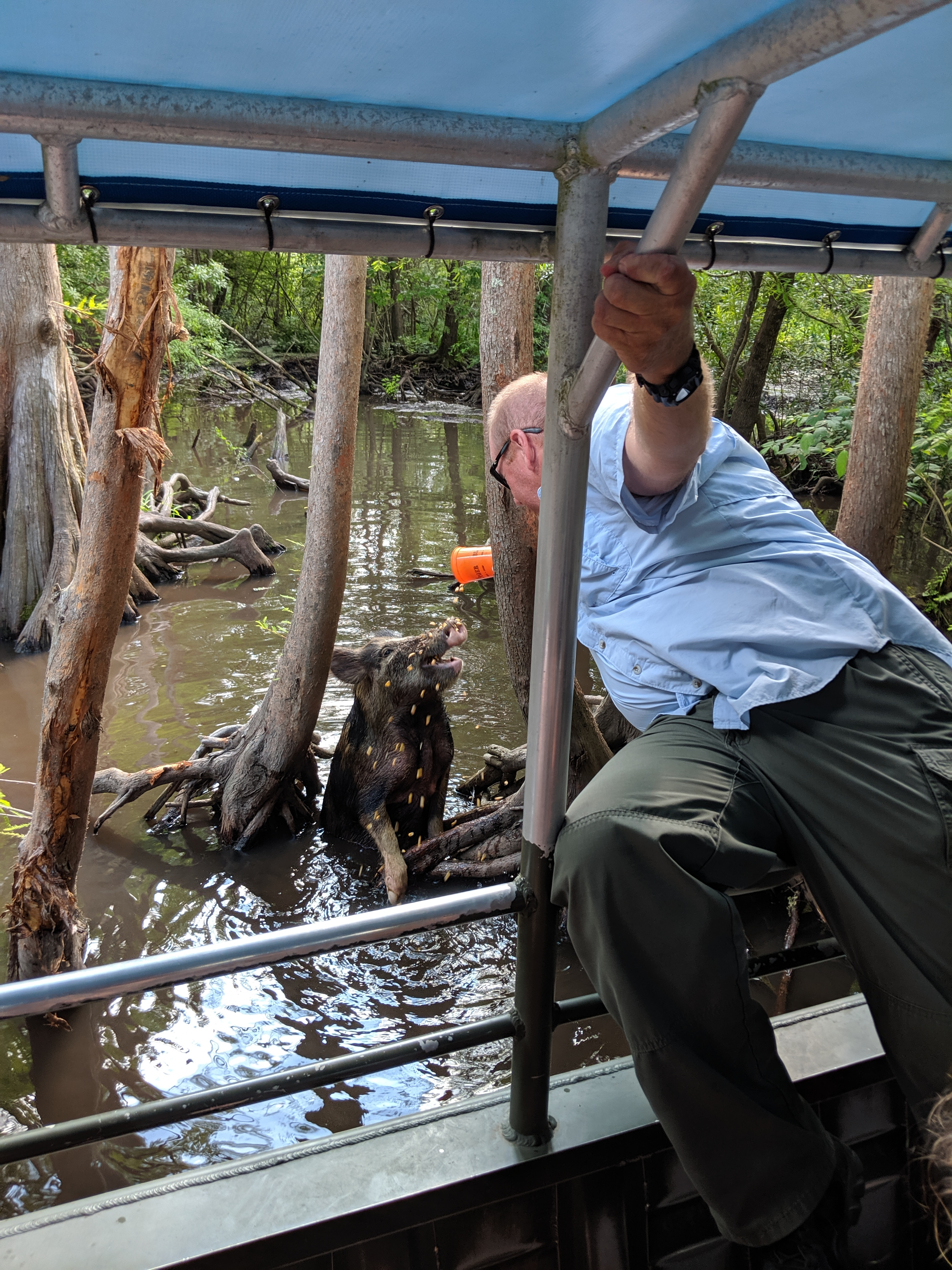 A man in a blue shirt leaning out of a boat in a swamp to feed a wild pig from an orange cup