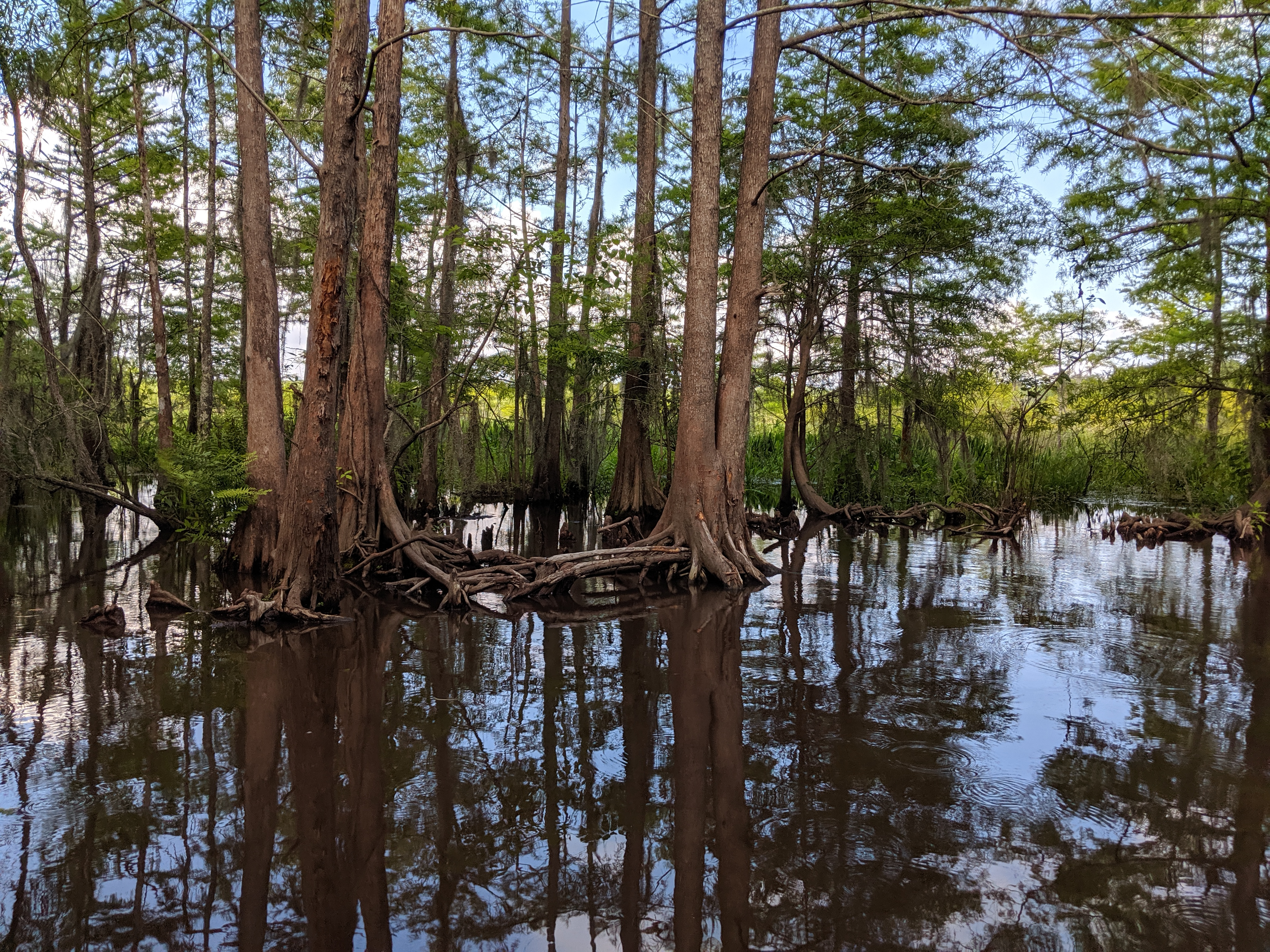 Mangrove trees reflected in dark water in a swamp
